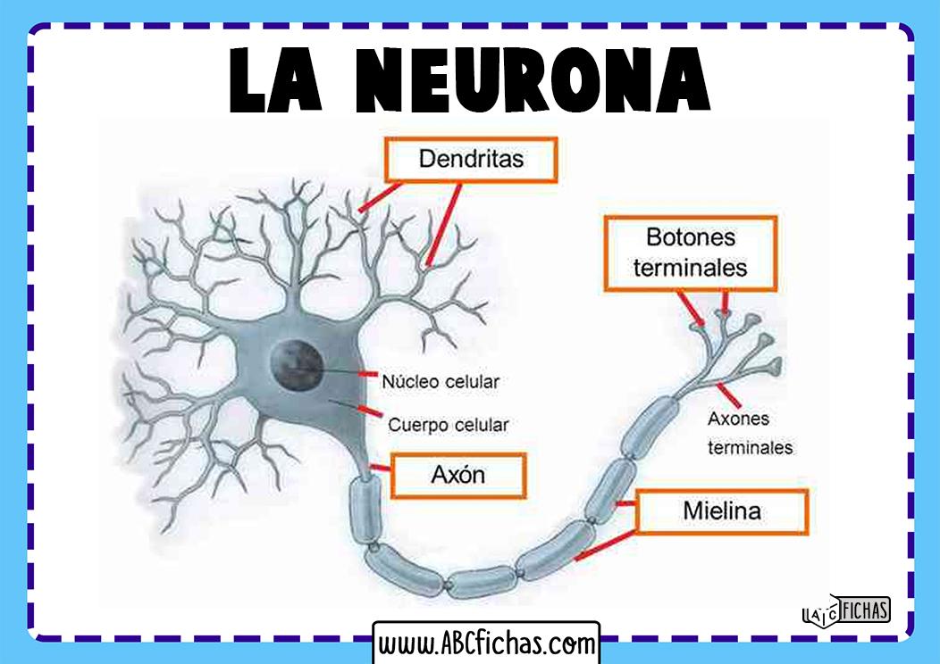 Definicion de neurona
