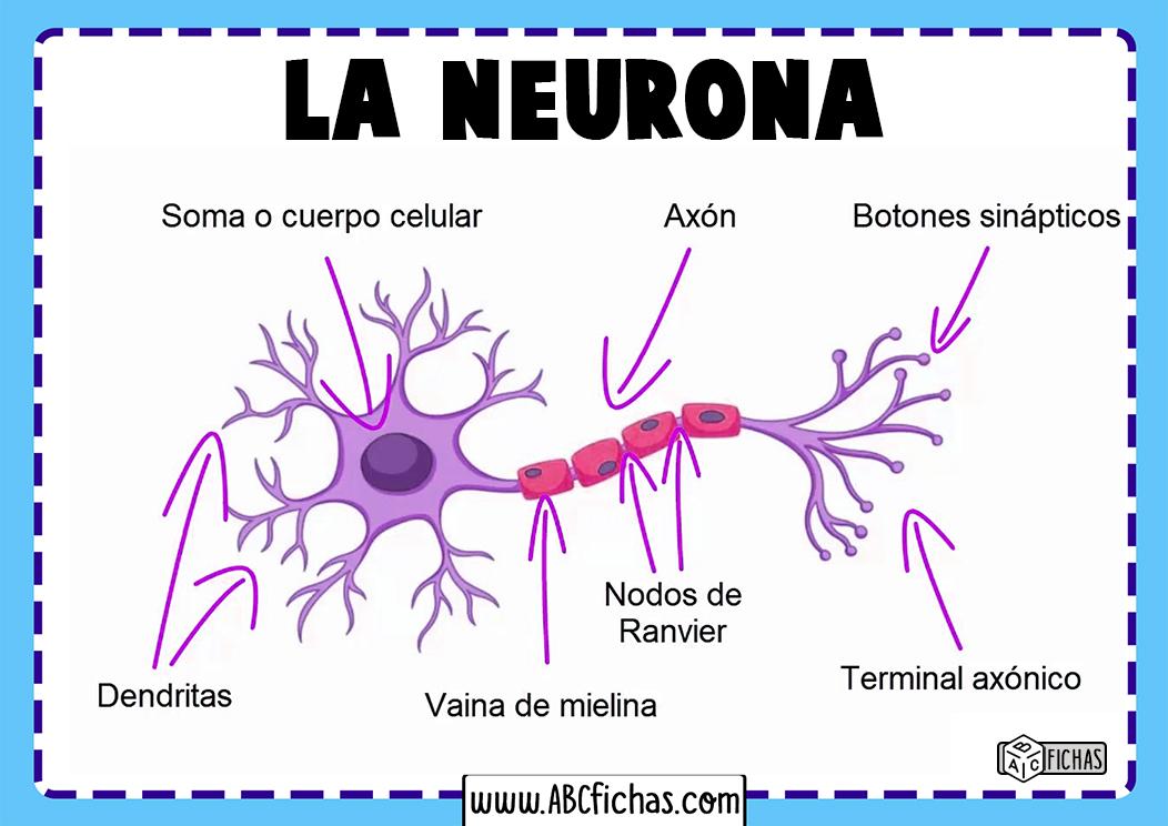 Funciones de la neurona