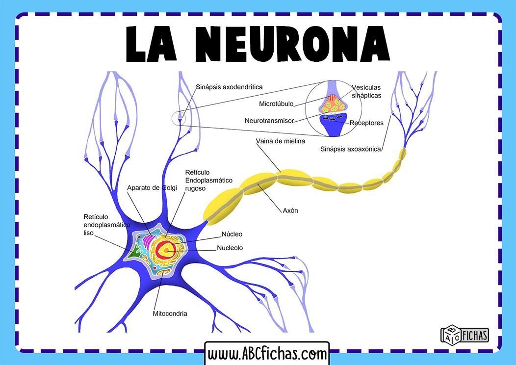 Neurona partes y estructura