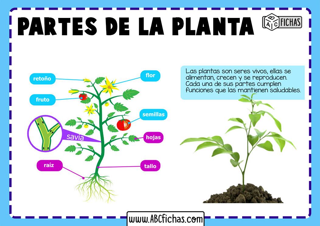 Partes y funciones de la planta