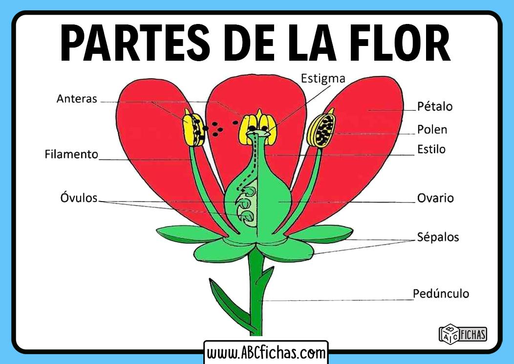 Anatomia de la flor