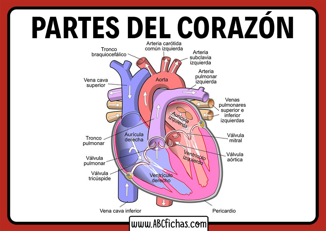 Partes Del Corazon Humano Abc Fichas