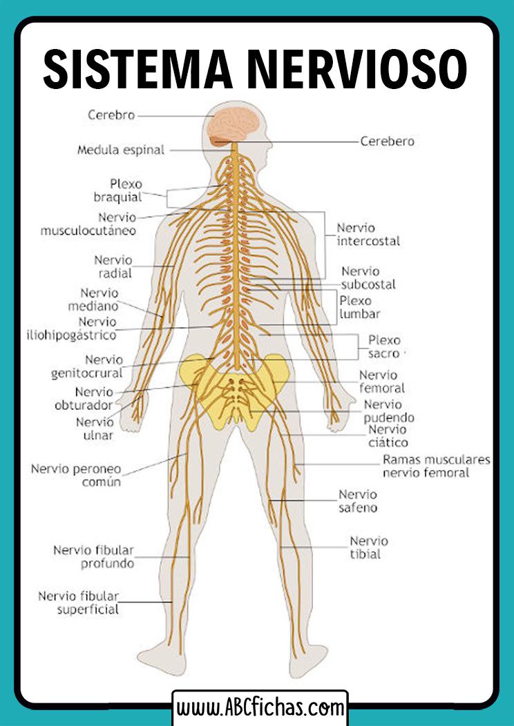 Partes del sistema nervioso humano