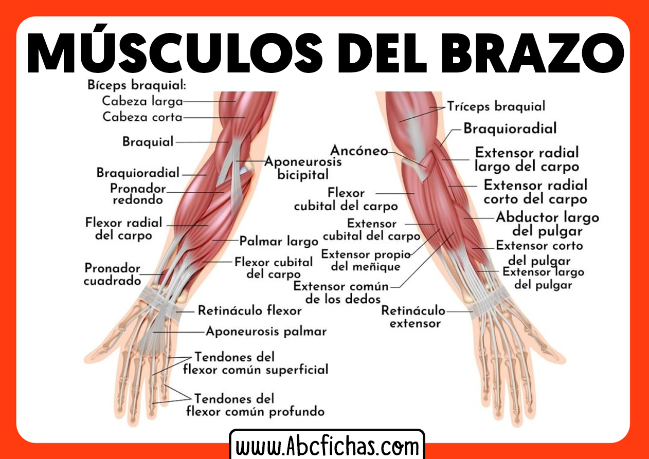 Anatomia de los musculos del brazo y antebrazo