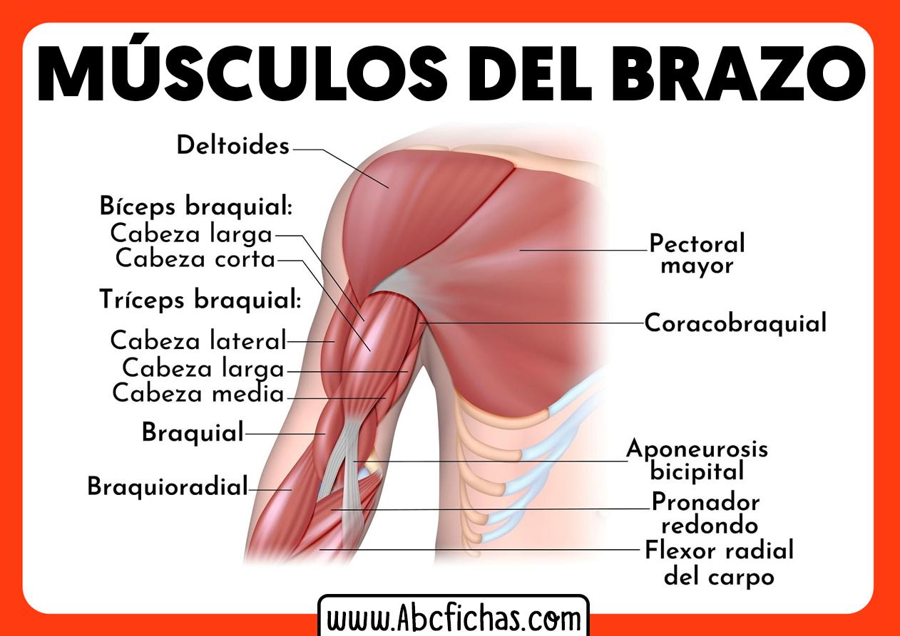 Anatomia de los musculos del brazo