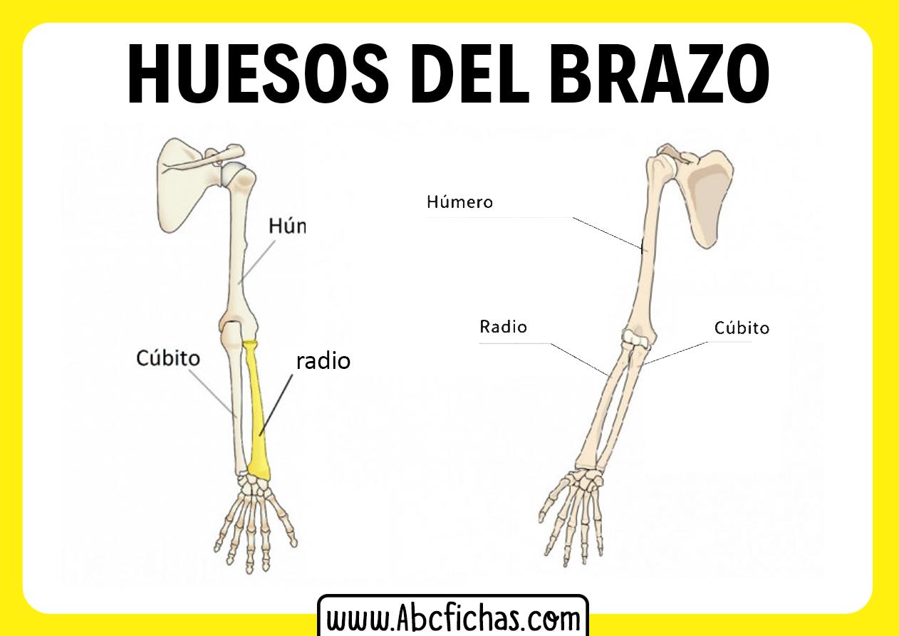 Anatomia de los huesos del brazo