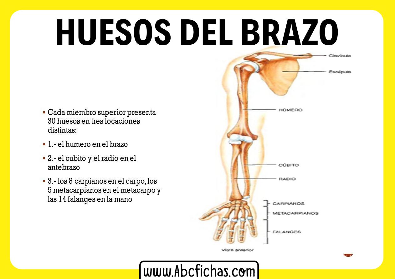 Anatomia del brazo humano