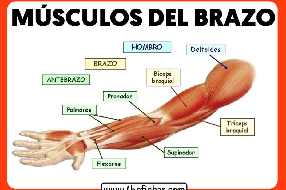 Anatomia y musculos del brazo