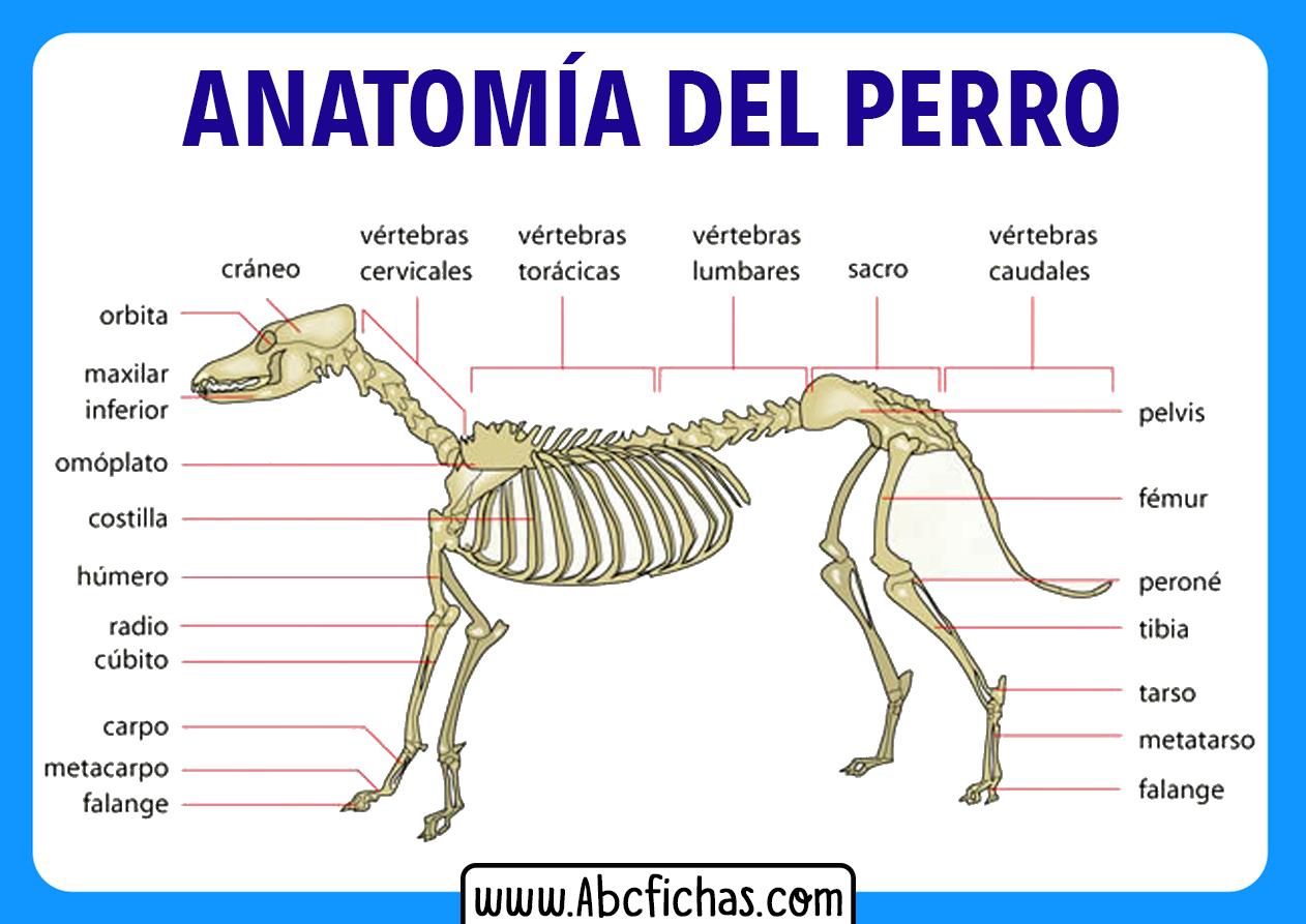 Esqueleto de un perro