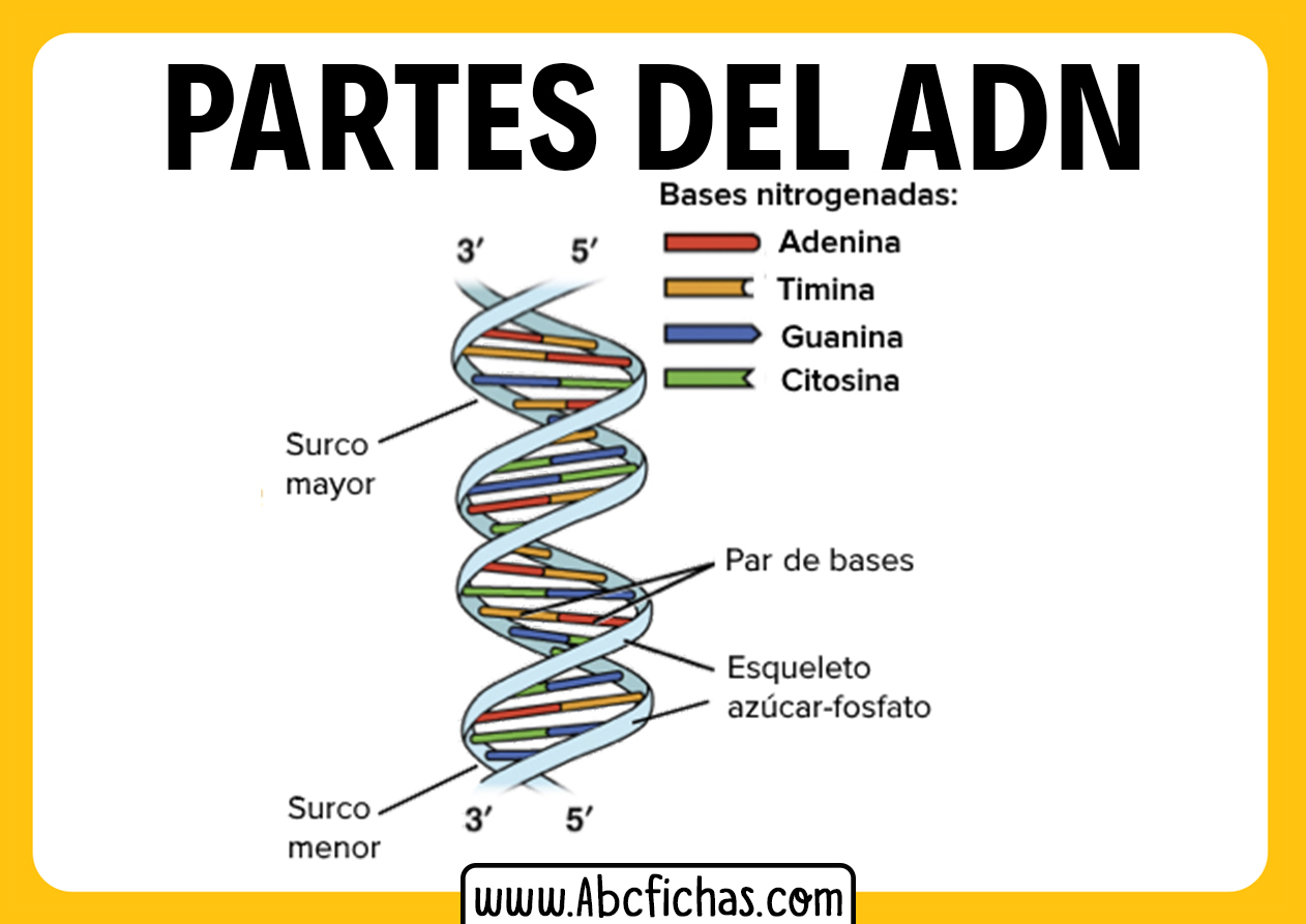 Estructura del adn bases nitrogenadas