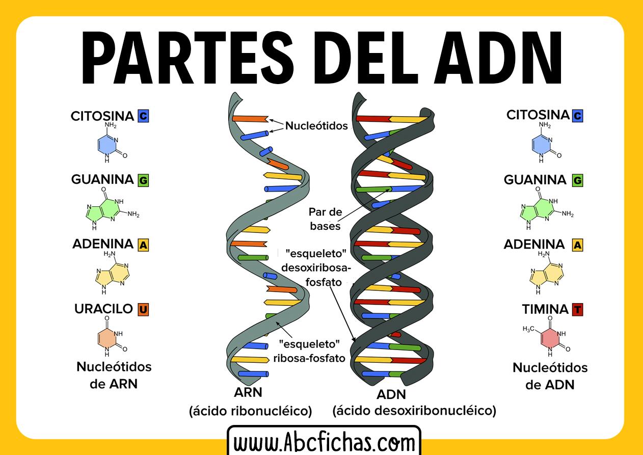 Estructura del adn y sus partes