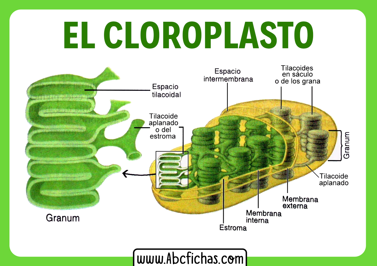 Estructura interna del cloroplasto