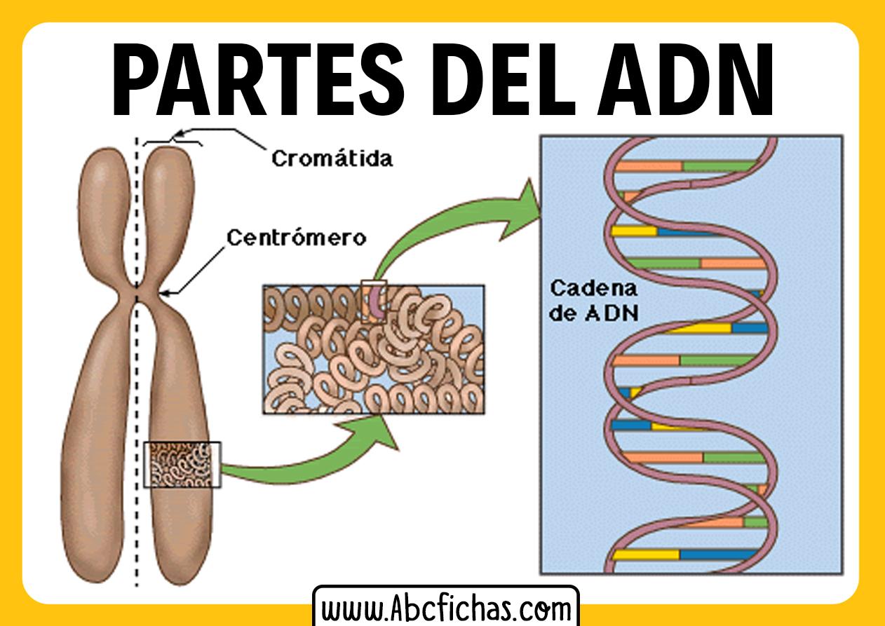 Estructura y partes del adn