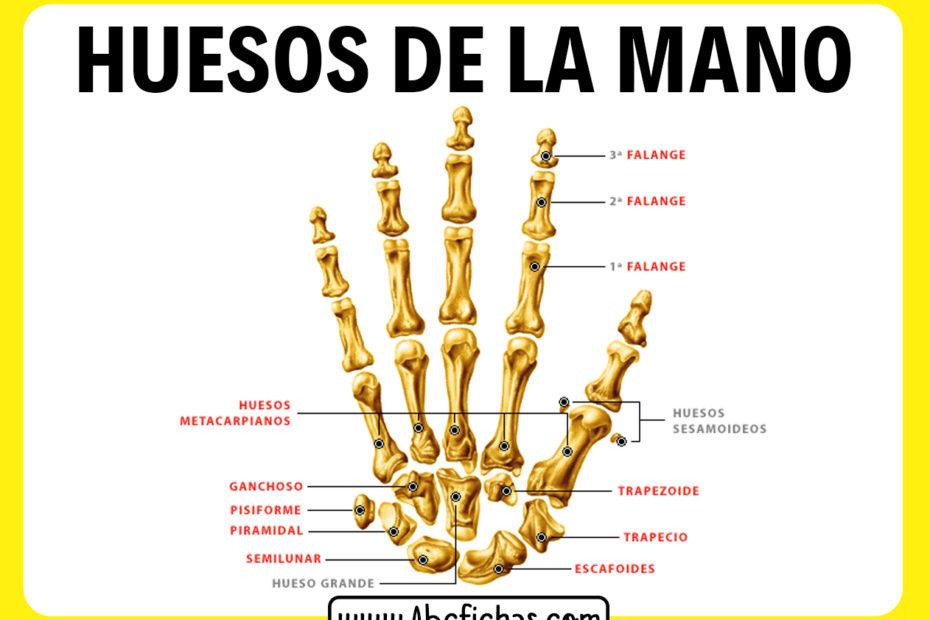 Huesos de la mano falanges
