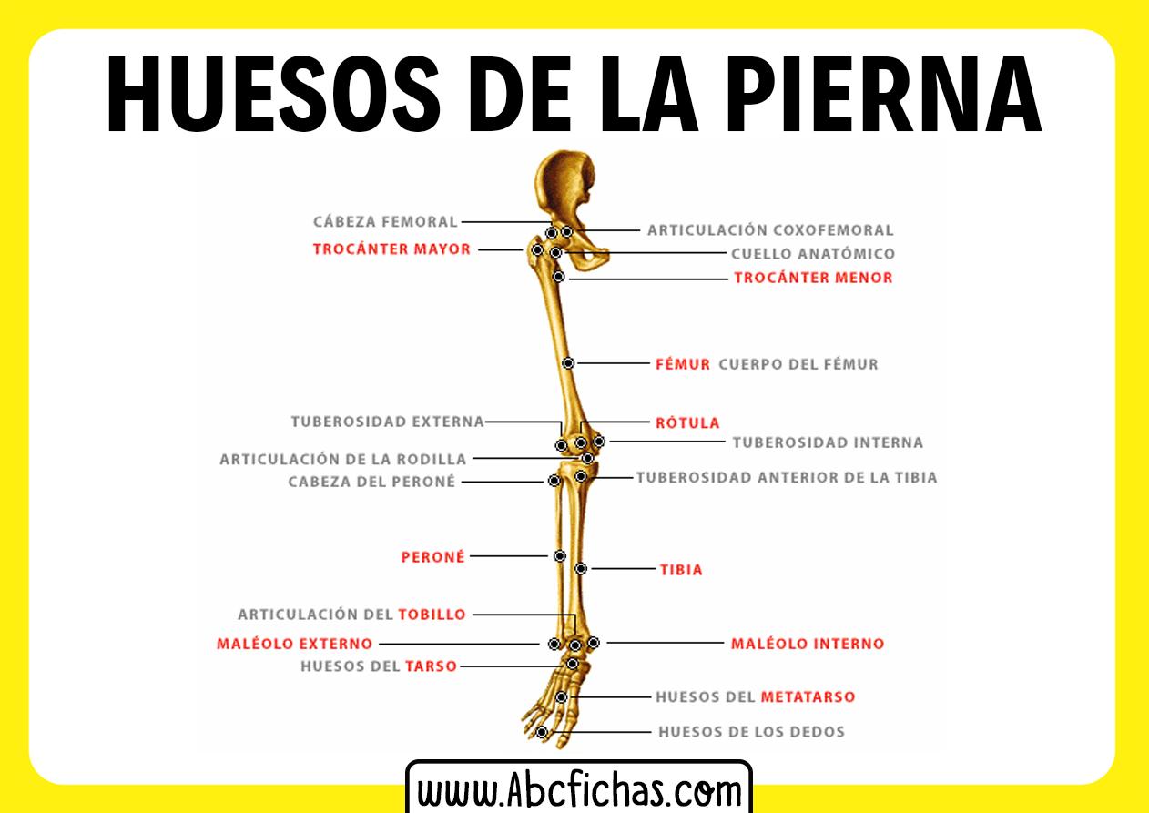 Huesos de la pierna