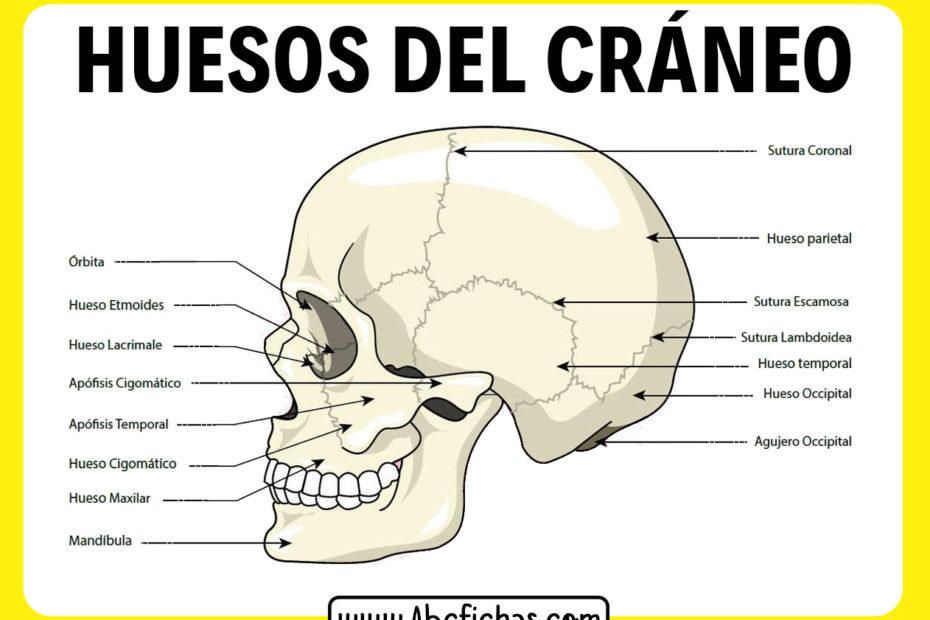 Huesos del craneo humano