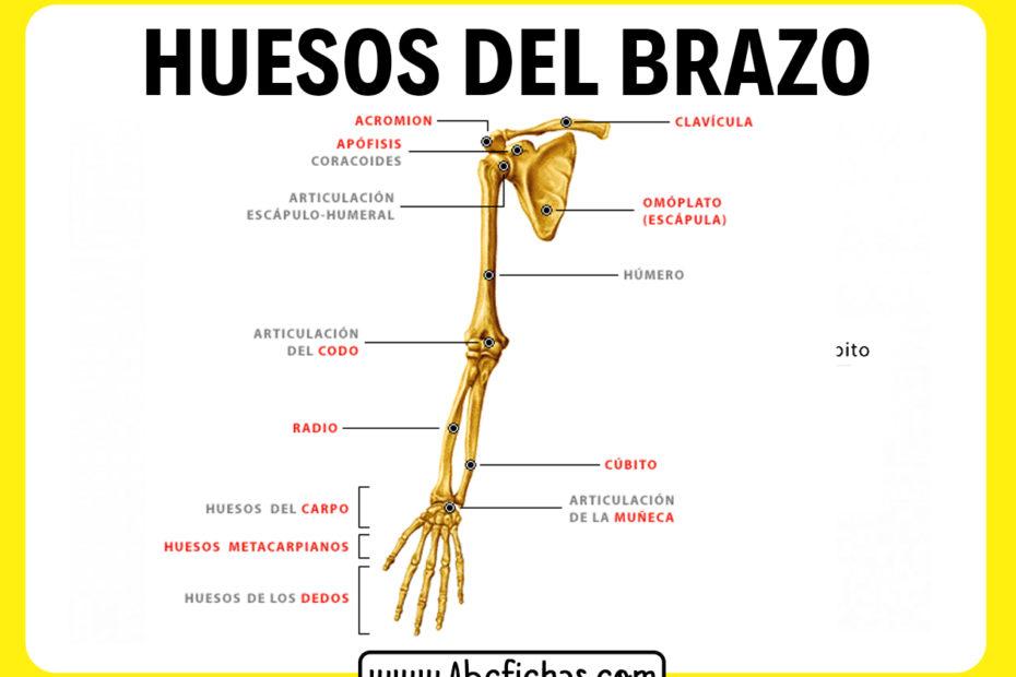 Huesos del brazo