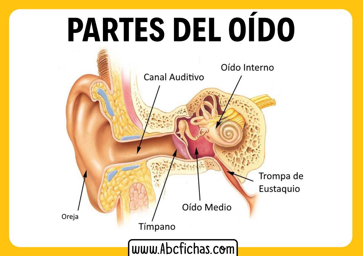 Las partes del oido interno y externo