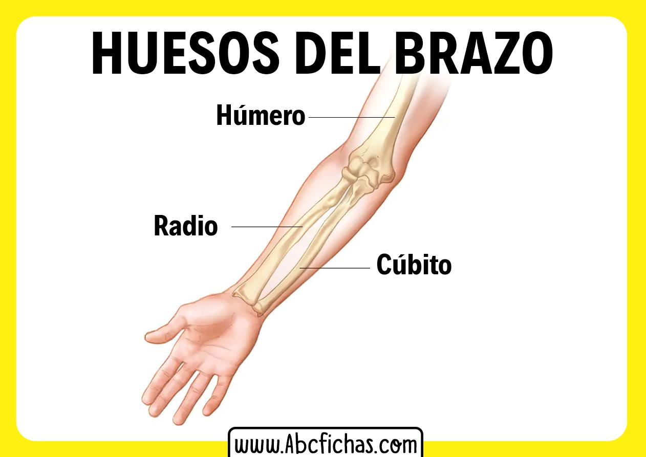 Las partes del brazo y sus huesos