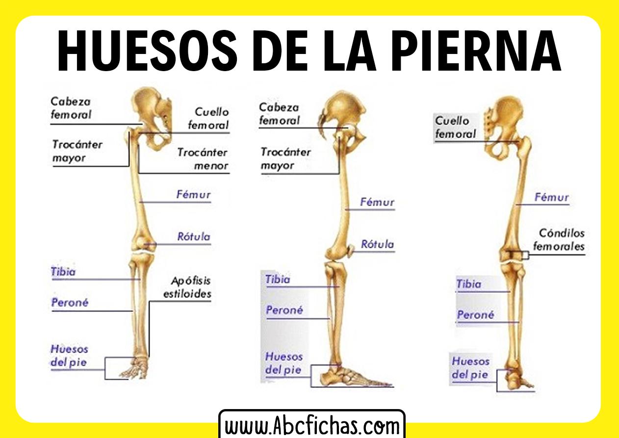 Los huesos de la pierna