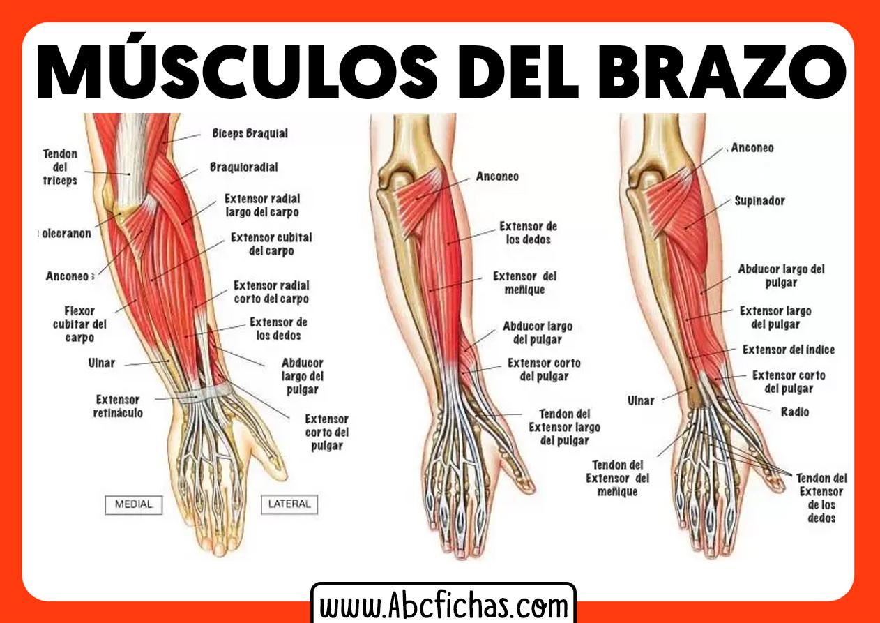 Los musculos del brazo