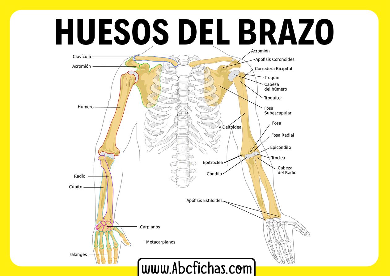 Los huesos del brazo