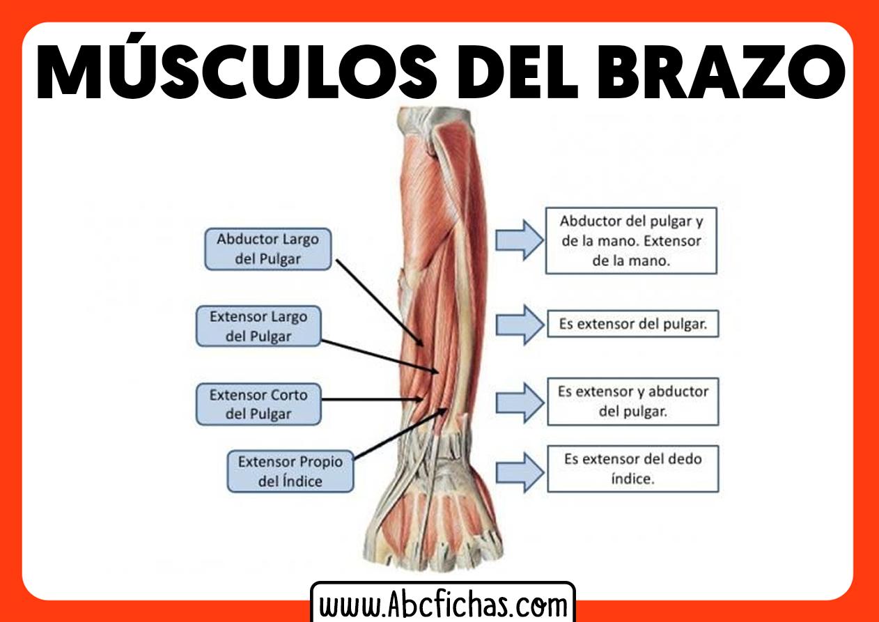 Musculatura del antebrazo