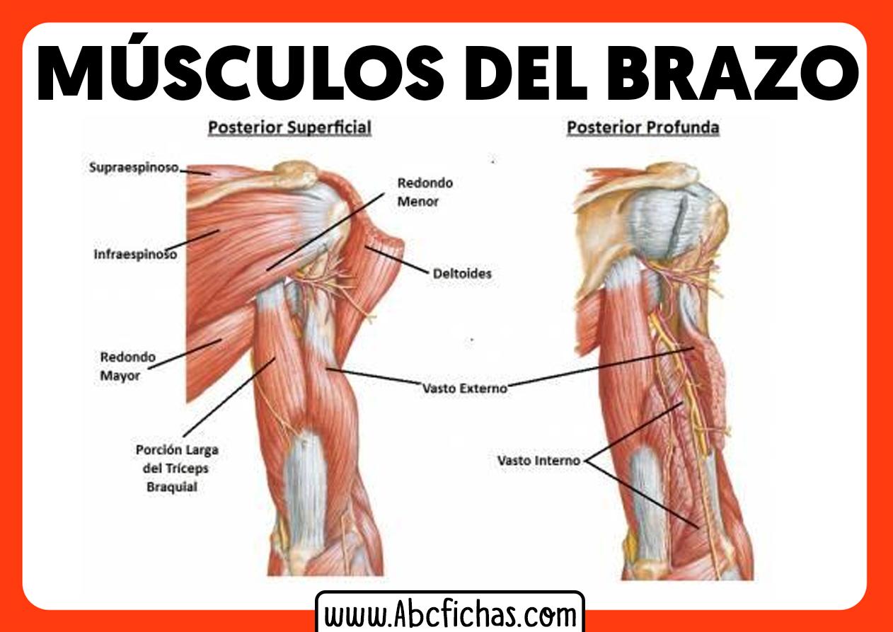 Musculos del brazo anatomia