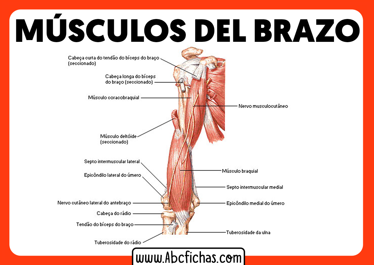 Musculos del brazo y antebrazo