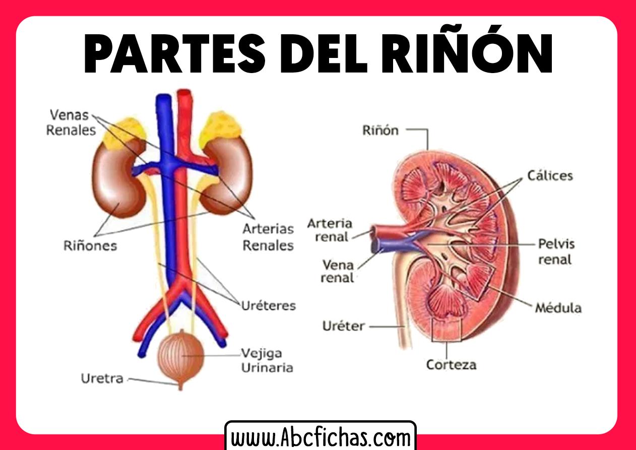 Partes sistema endrocrino riñones