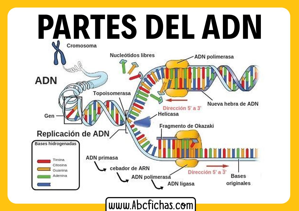 Partes del adn
