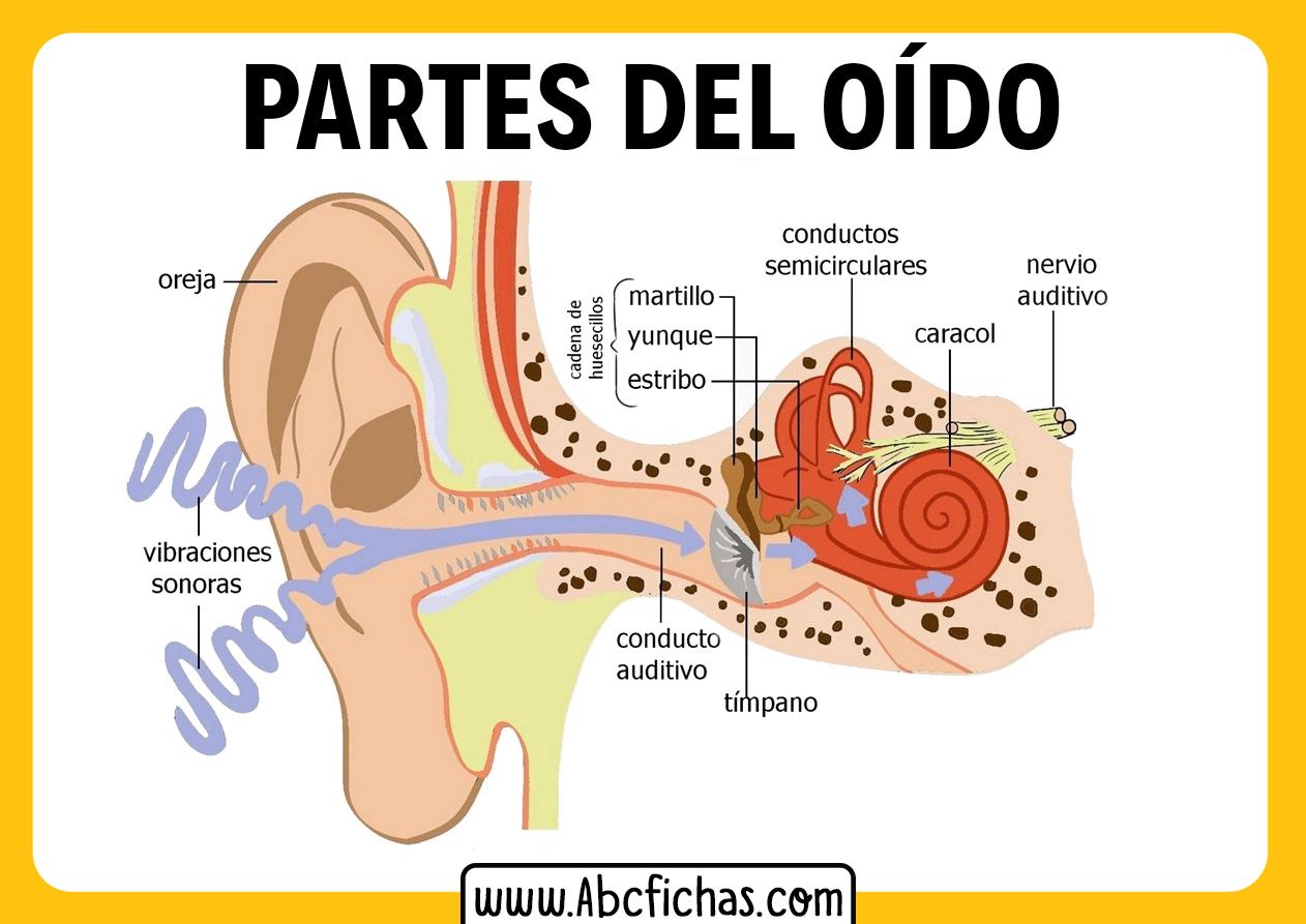 Partes del oido