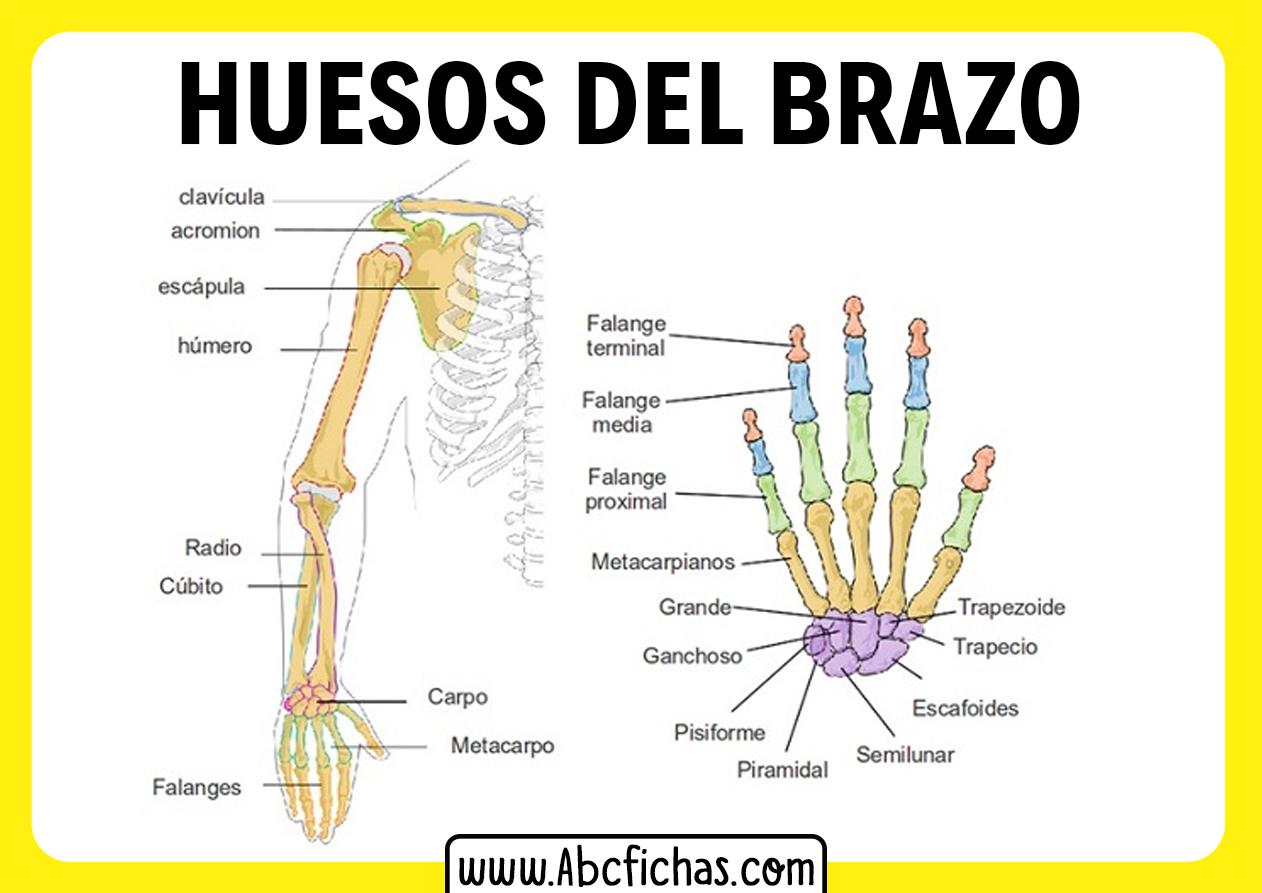 Partes del brazo