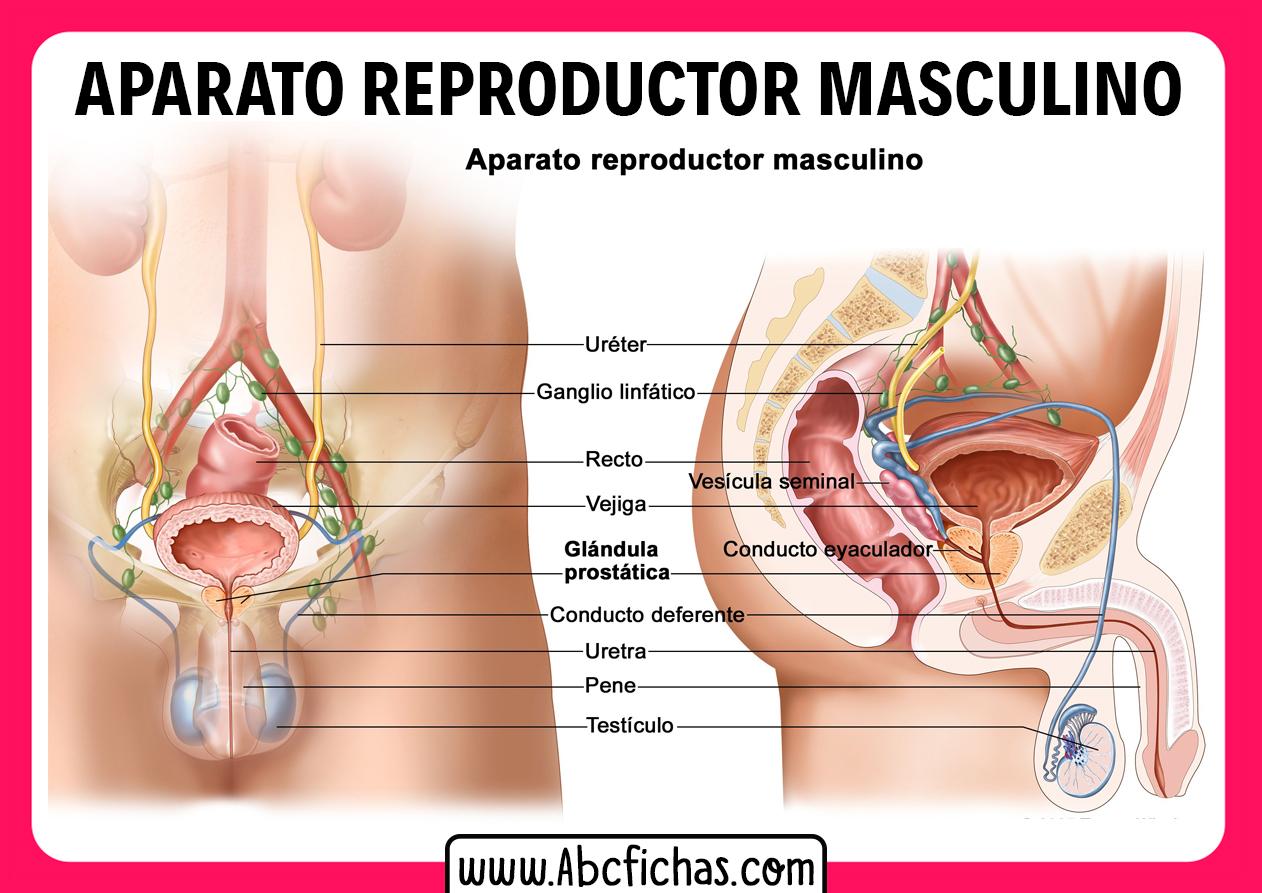 Sistema reproductor masculino